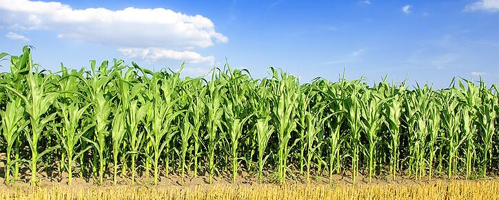 Corn w Harvested Hay_small.jpg