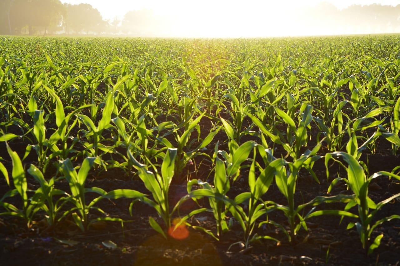 field-of-crops