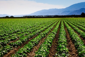 bean field.jpg
