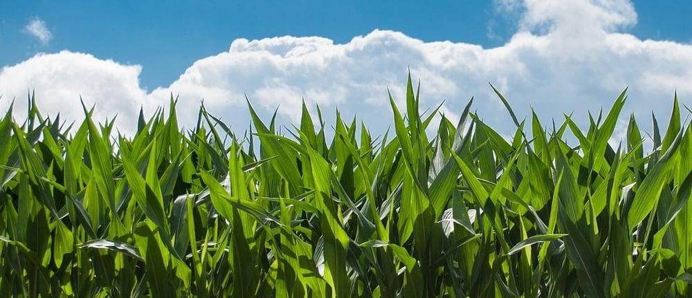 cornfield-edited.jpg