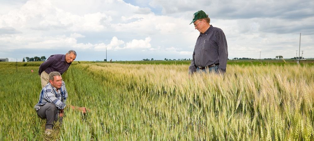 farmers inspecting wheat field