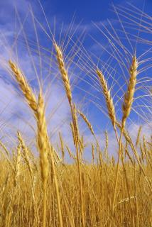 field-wheat.jpg