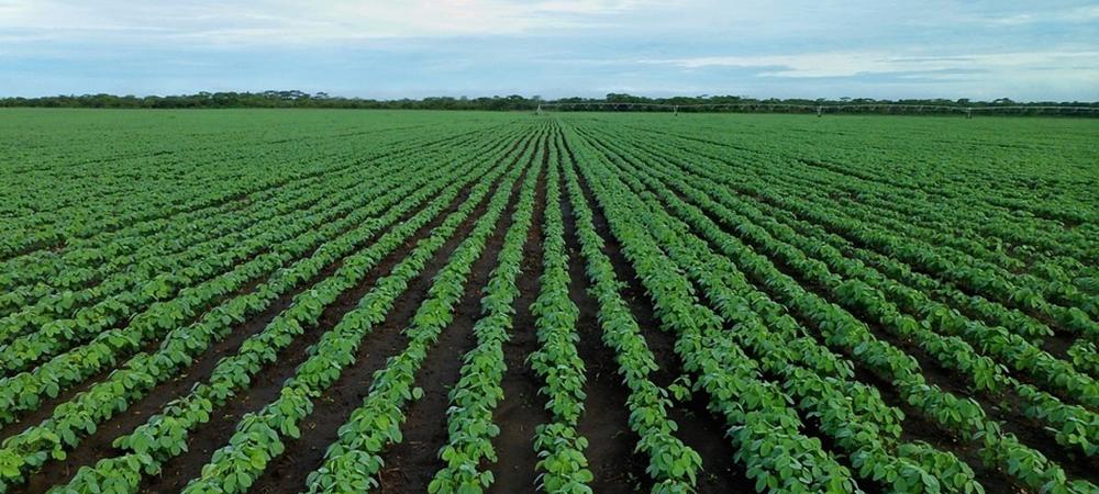 soybean-field.png