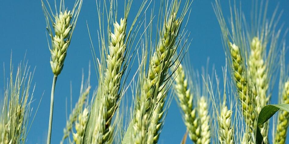 wheat-cropped.jpg