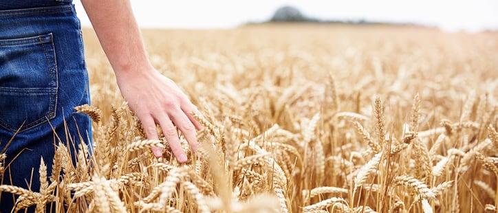 wheat-field2.jpg