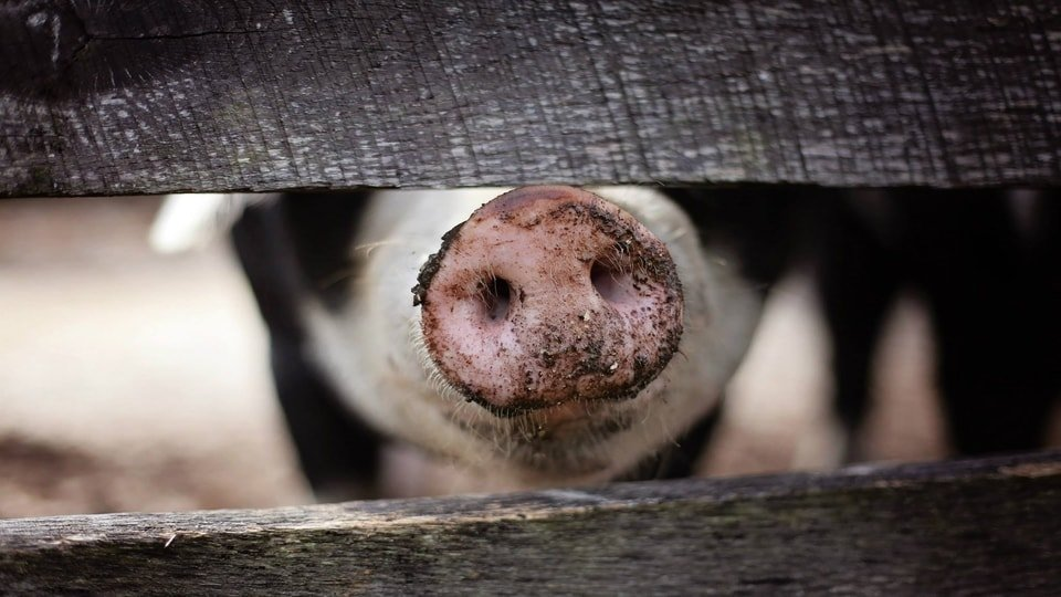 What Should You Know About Pork Enterprise Accounting?